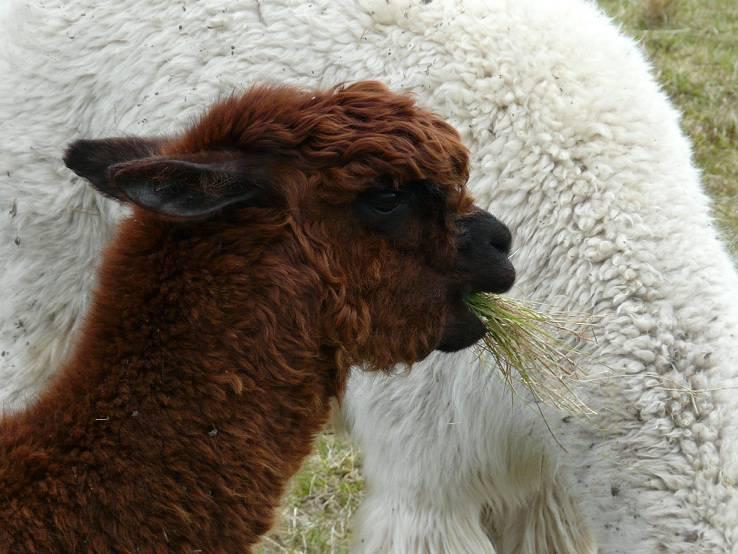 Alpaca's op de Shetland Eilanden, een beetje vreemd